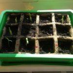 Tomaten Keimlinge 3 Tage alt