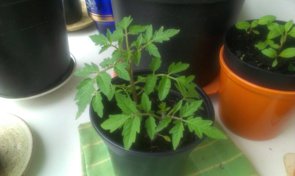Tomaten Jungpflanzen