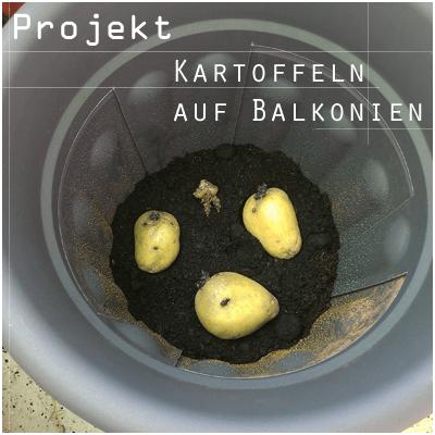 Kartoffeln auf Balkonien selbst anpflanzen