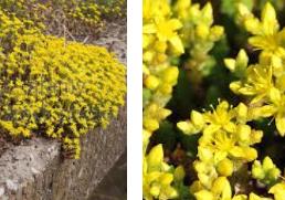 Mauerpfeffer gelb