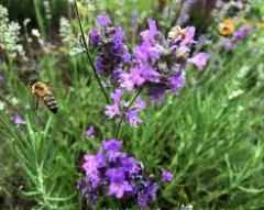 Lavendel Blüte und Biene